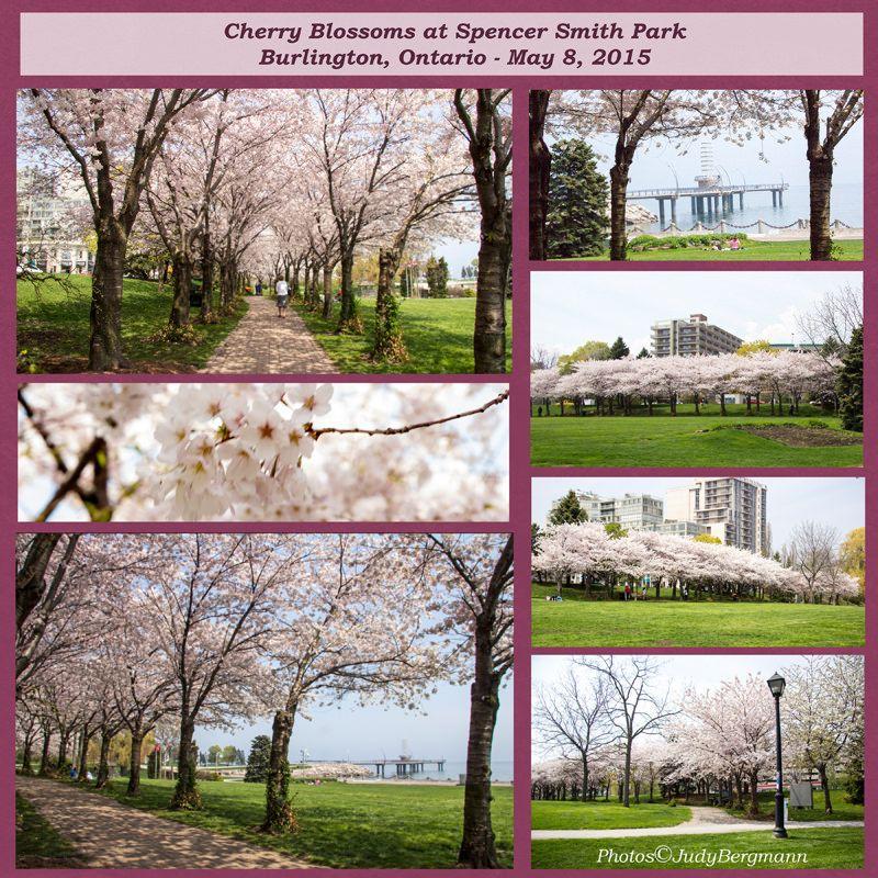 Cherry Blossom Time Web Cherry Blossom Burlington Blossom