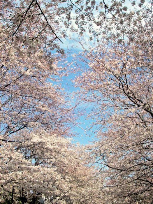 Tagmimei Cherry Blossom Around The Worlds Blossom