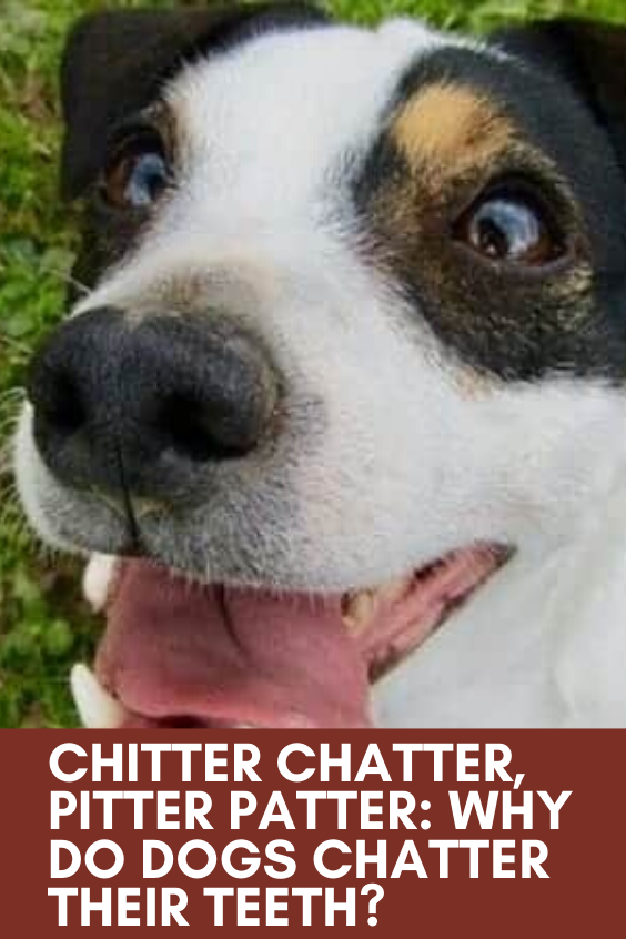 Chitter Chatter Pitter Patter Why Do Dogs Chatter Their Teeth In 2020 Dogs Happy Dogs Dog Blog