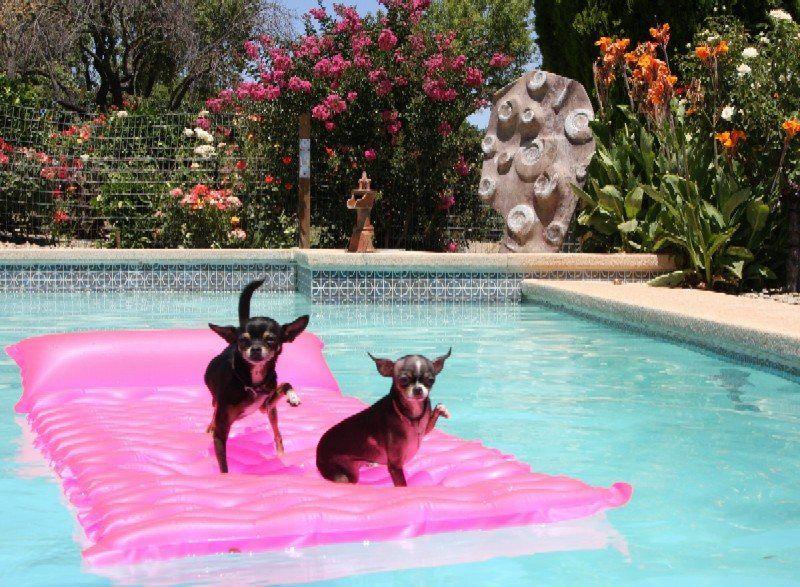 Chi S Waving Hello 800 587 Chihuahua Chihuahua Love Puppies