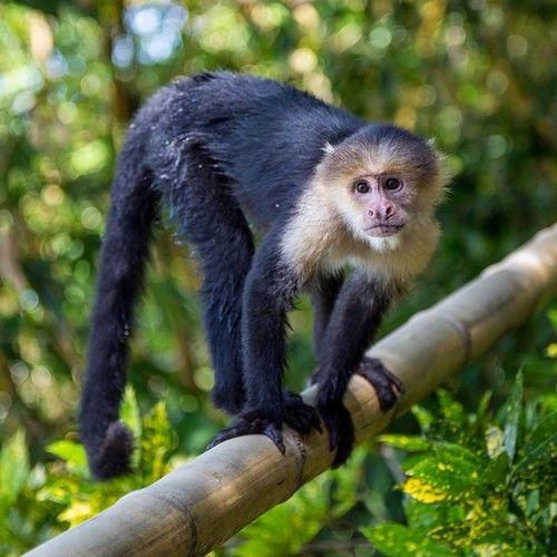 Banana Anyone Costarica Monkey Cute Moving To Costa Rica Costa Rica Travel Costa Rica