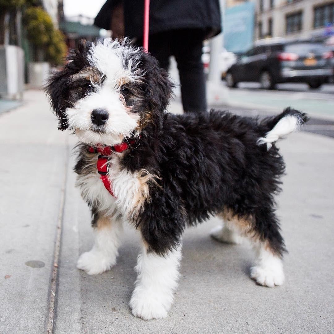 The Dogist On Instagram Heidi Miniature Bernedoodle 10 W