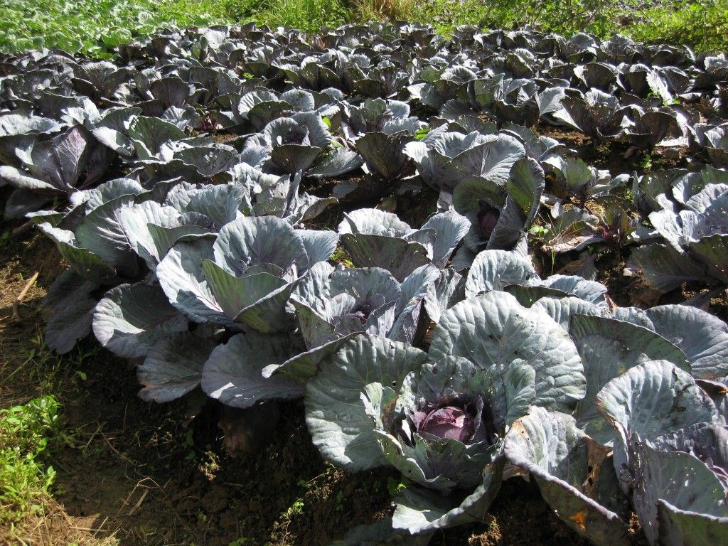 Organic red cabbage growing merrily