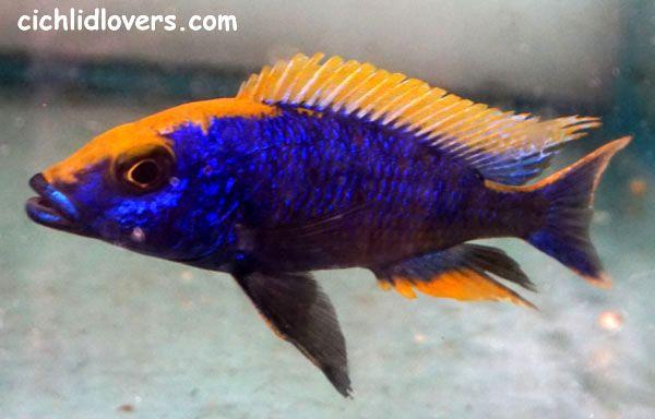 Otopharynx Lithobates Zimbabwe Rock Yellow Blaze Lake Malawi Cichlids Cichlid Aquarium Tropical Fish Aquarium