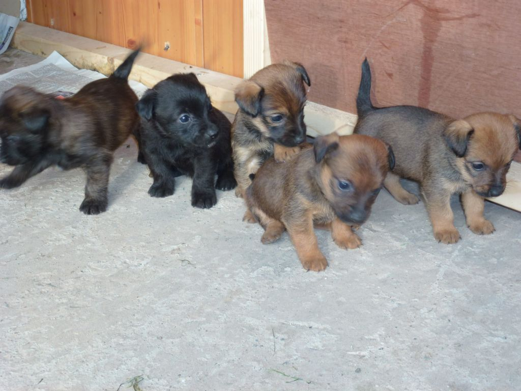 Jack Russell X Cairn Terrier Pups For Sale Cairn Terrier Cairn