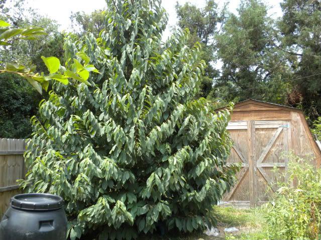 Paw Paw Tree Organic Raised Garden Beds Organic Gardening Magazine Fruit Trees