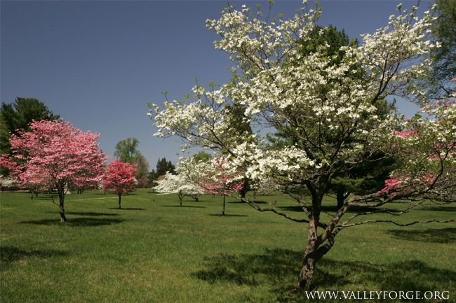 The Dogwoods In Bloom At Valley Forge National Historical Park In