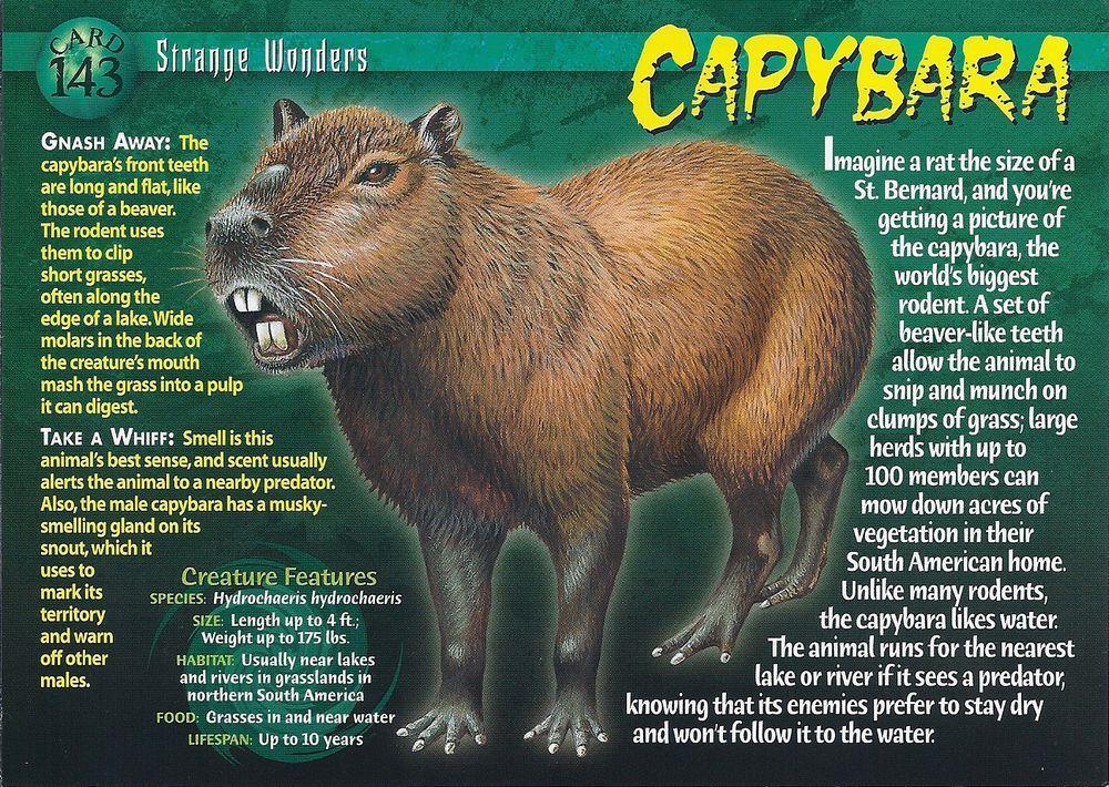 Capybara in 2020 Capybara, Wild creatures, Rainforest