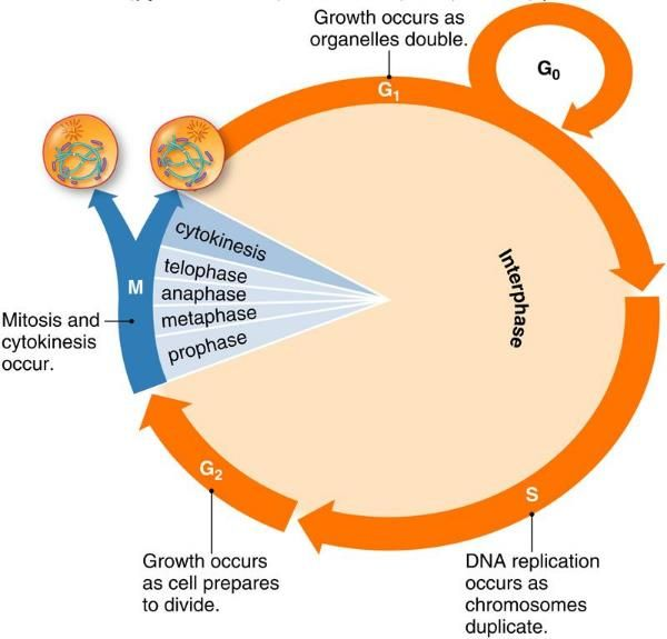 Cell cycle science time pinterest cycling diagram of the cell cycle ccuart Gallery