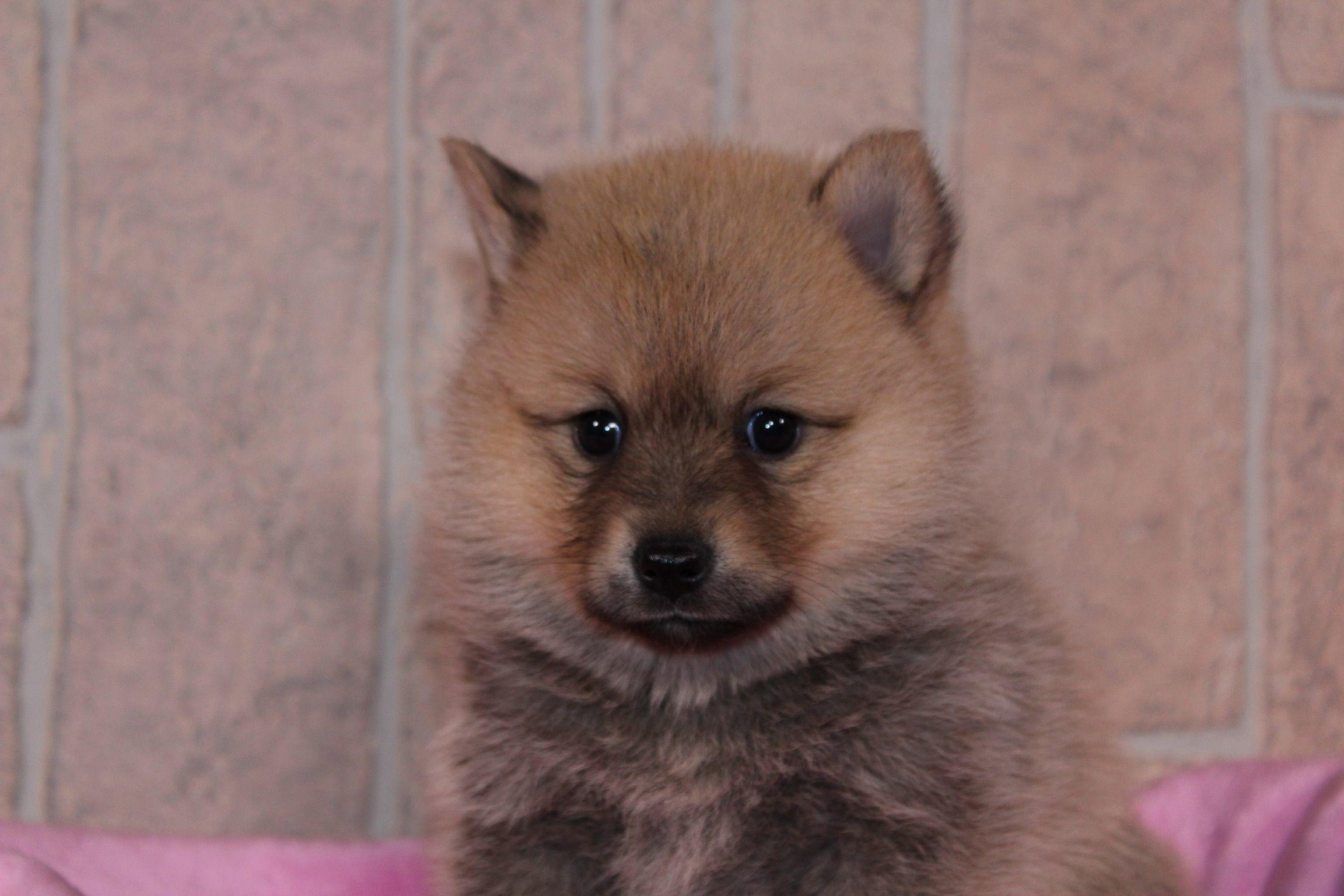 Addica Puppies, Pomsky puppies, Puppies near me
