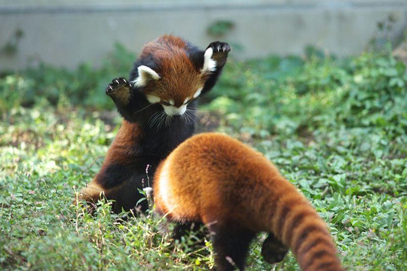"""GOTCHA!"" lol red panda | Cute animals! | Pinterest"