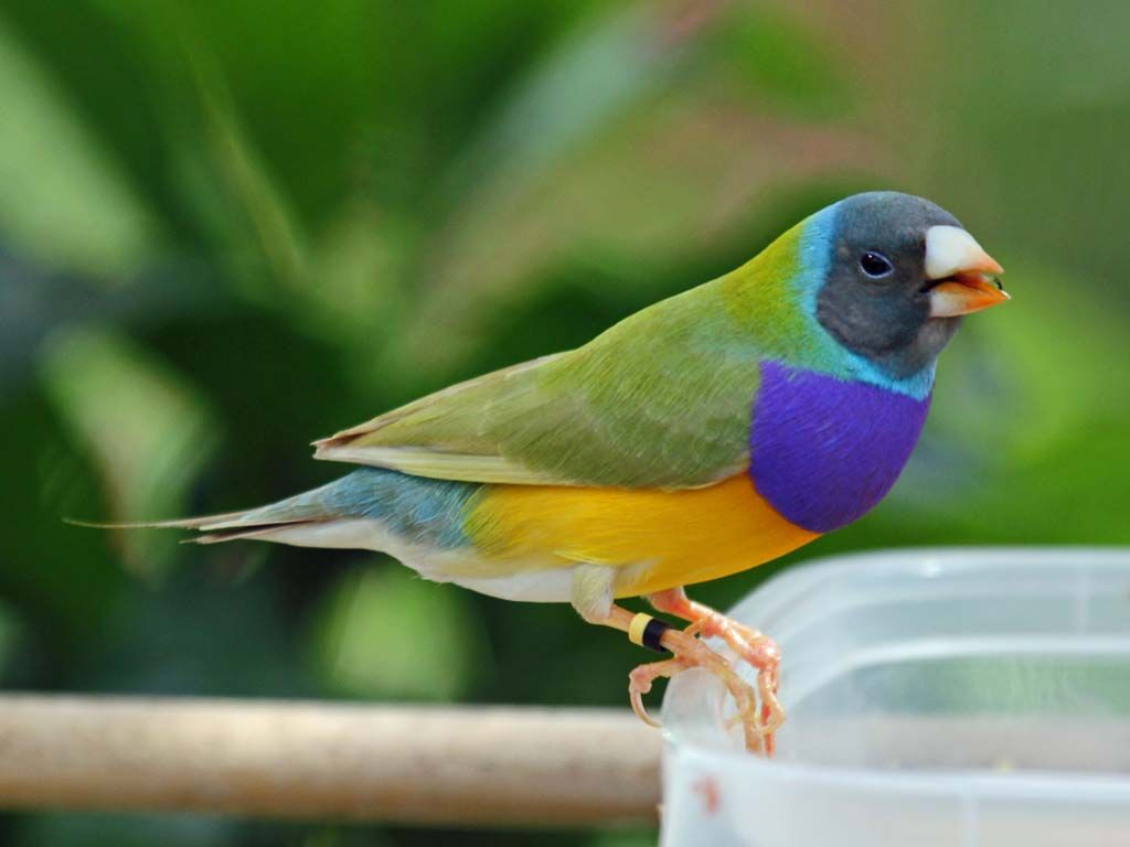Black Head Australian Yellow Gouldian finch - Google'da Ara