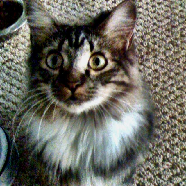 Naula a Maine Coon rescue that's huge   but not yet done