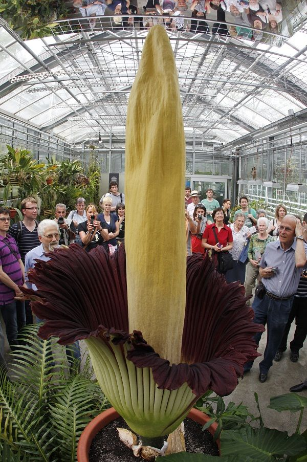 Rare Titan Arum Flower Blooms In Brazil Titan Arum Beautiful Flowers Garden Weird Plants