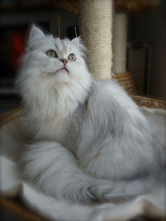 Pin By Cheryl Smyth 2 On Persian Cat And Kitten 2 American