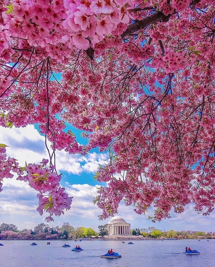 National Cherry Blossom Festival United States Washington Tidal Basin Cherry Blossom Festival Cherry Blossom Wonderful Places