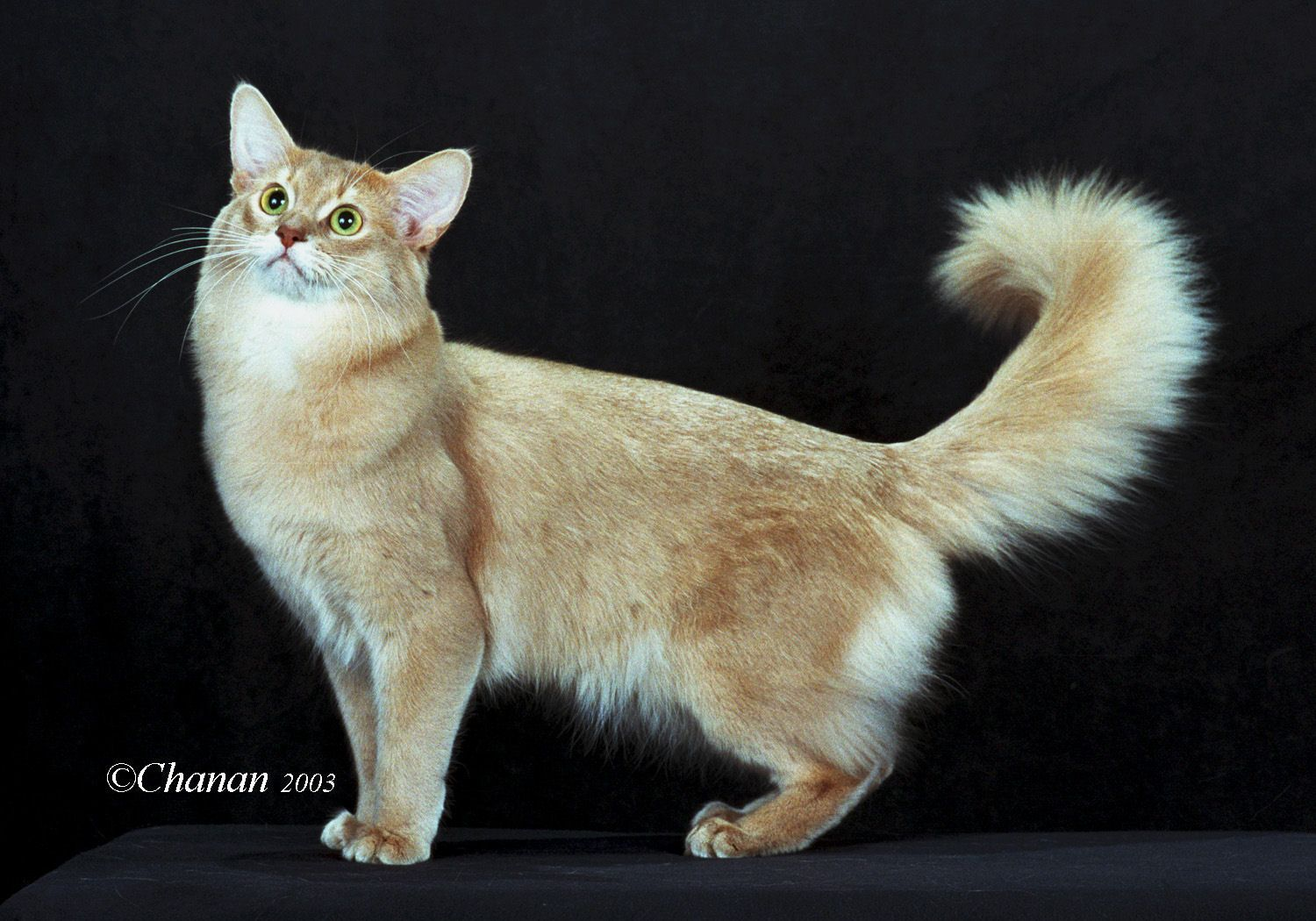 Somali Cat reference, Cats and kittens, Warrior cats