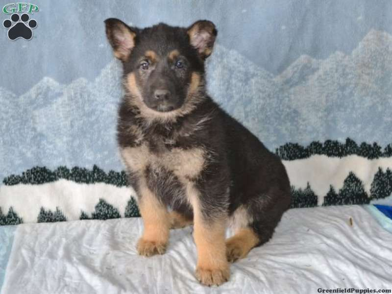Rover German Shepherd Puppy For Sale From Bellefonte Pa