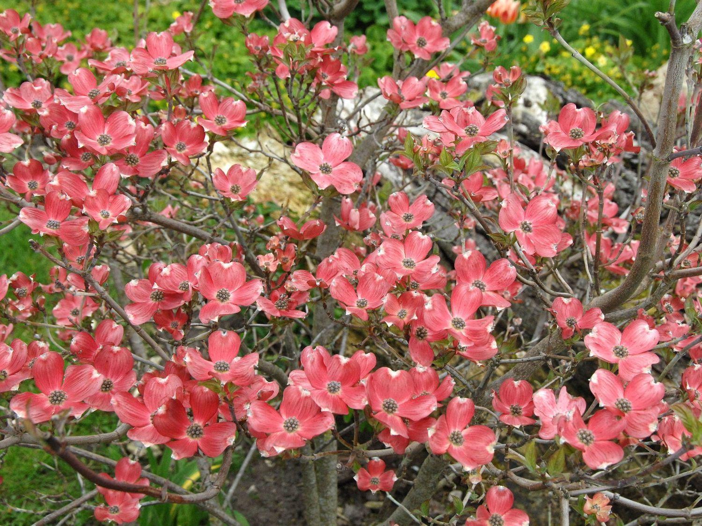 Amerikanischer Blumen Hartriegel Cherokee Brave Cornus Florida
