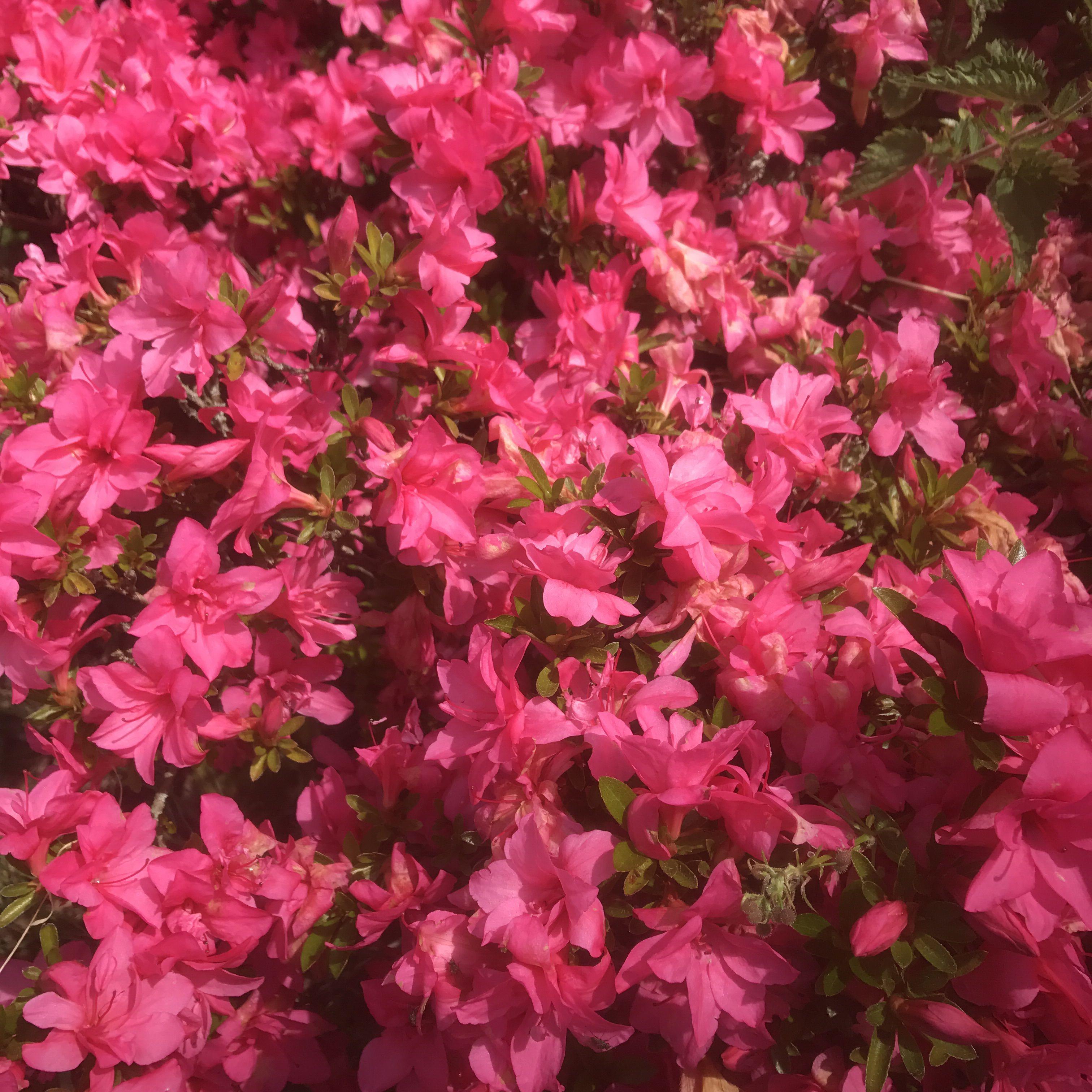One Of The Last Evergreen Azaleas To Flower The Sweet Indica Azalea Indicum Macrantha Pink Visitsussex The Rhs National Tr Market Garden Plants Azaleas