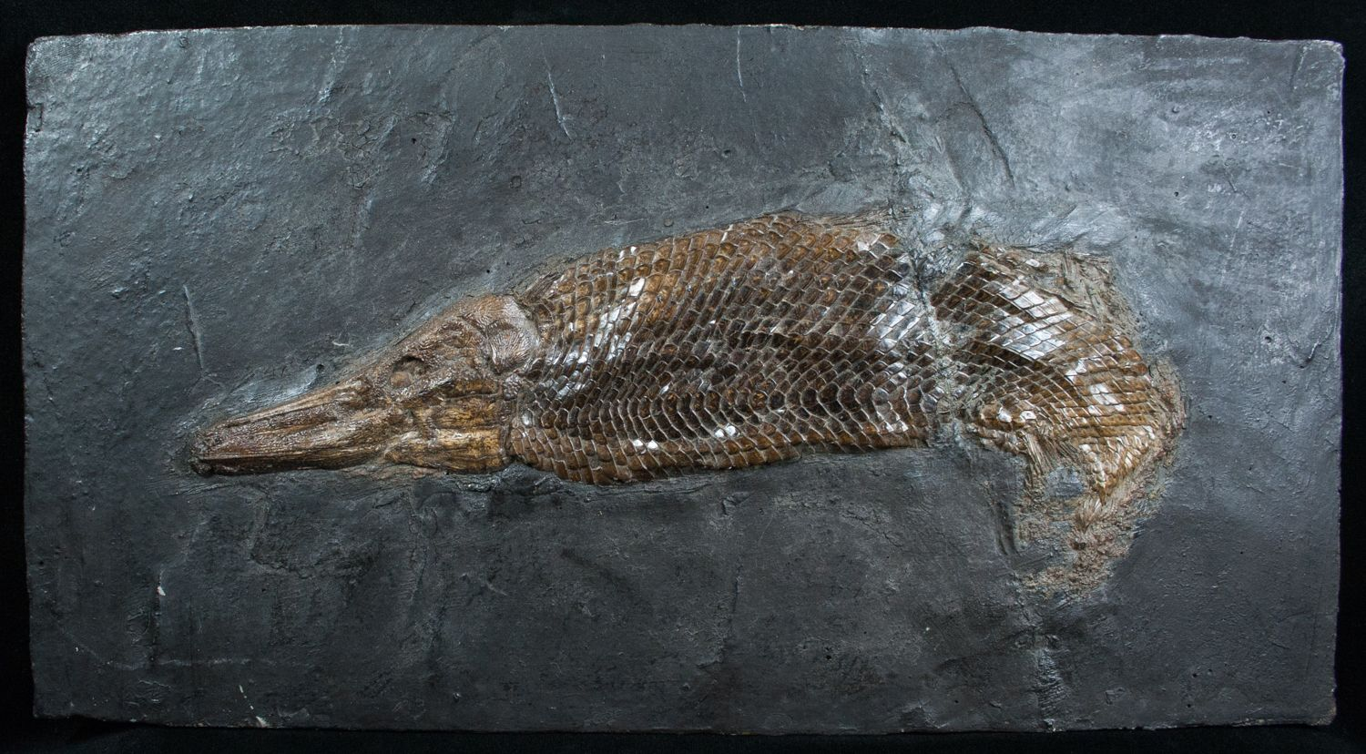Museum Grade - Garfish From Messel Shales - #4060-1