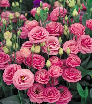 eustoma grandiflorum 39 rosita 2 39 lisianthus gardens exteriors pinterest blumen. Black Bedroom Furniture Sets. Home Design Ideas