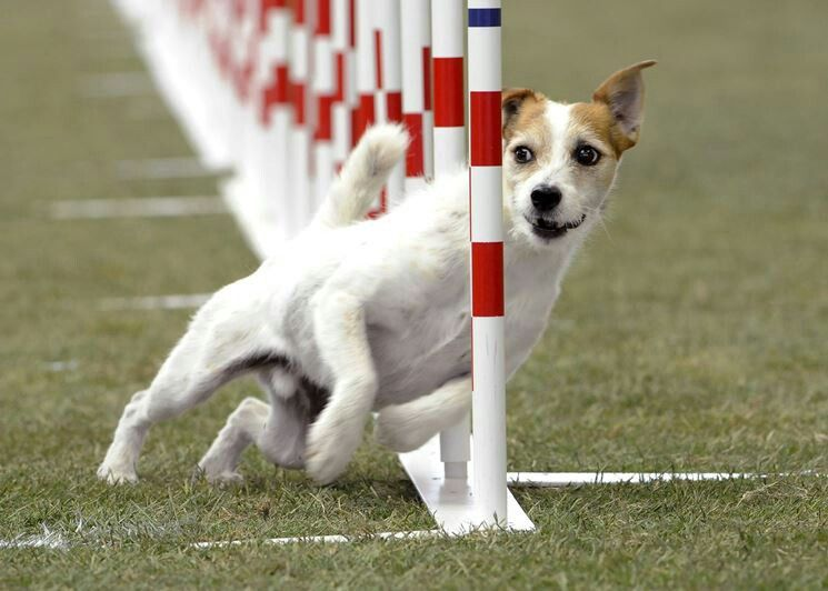 Agility Courses For Jacks They Can Fly And Jump Like Nobody S
