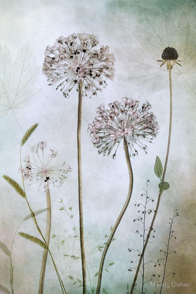 Allium By Mandy Disher Flower Prints Art Chic Art Prints Art Prints
