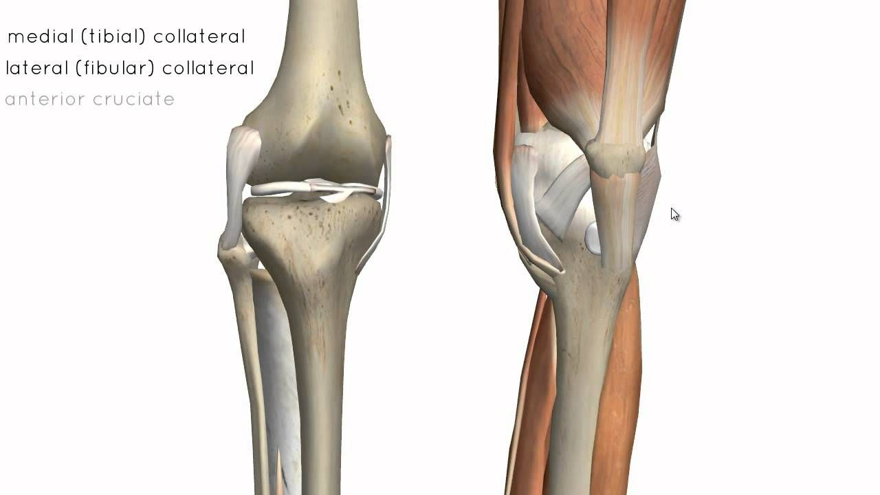 Knee Joint - Part 2 - 3D Anatomy Tutorial | Sculpt | Pinterest