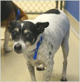 Petango Com Meet Cooper Senior Alert A 9 Years 2 Months Terrier Mix Available For Adoption In Rochester Mn Our Senior Rat Terrier Cooper Came In With