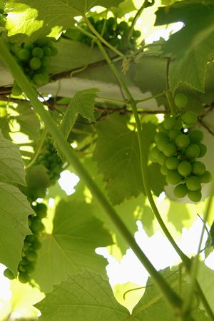 Fast growing vine. Glenora grapes are a concord type grape that is ...