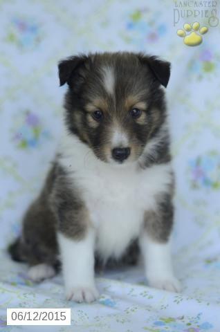 Shetland Sheepdog Puppy For Sale In Indiana Buckeyepuppies