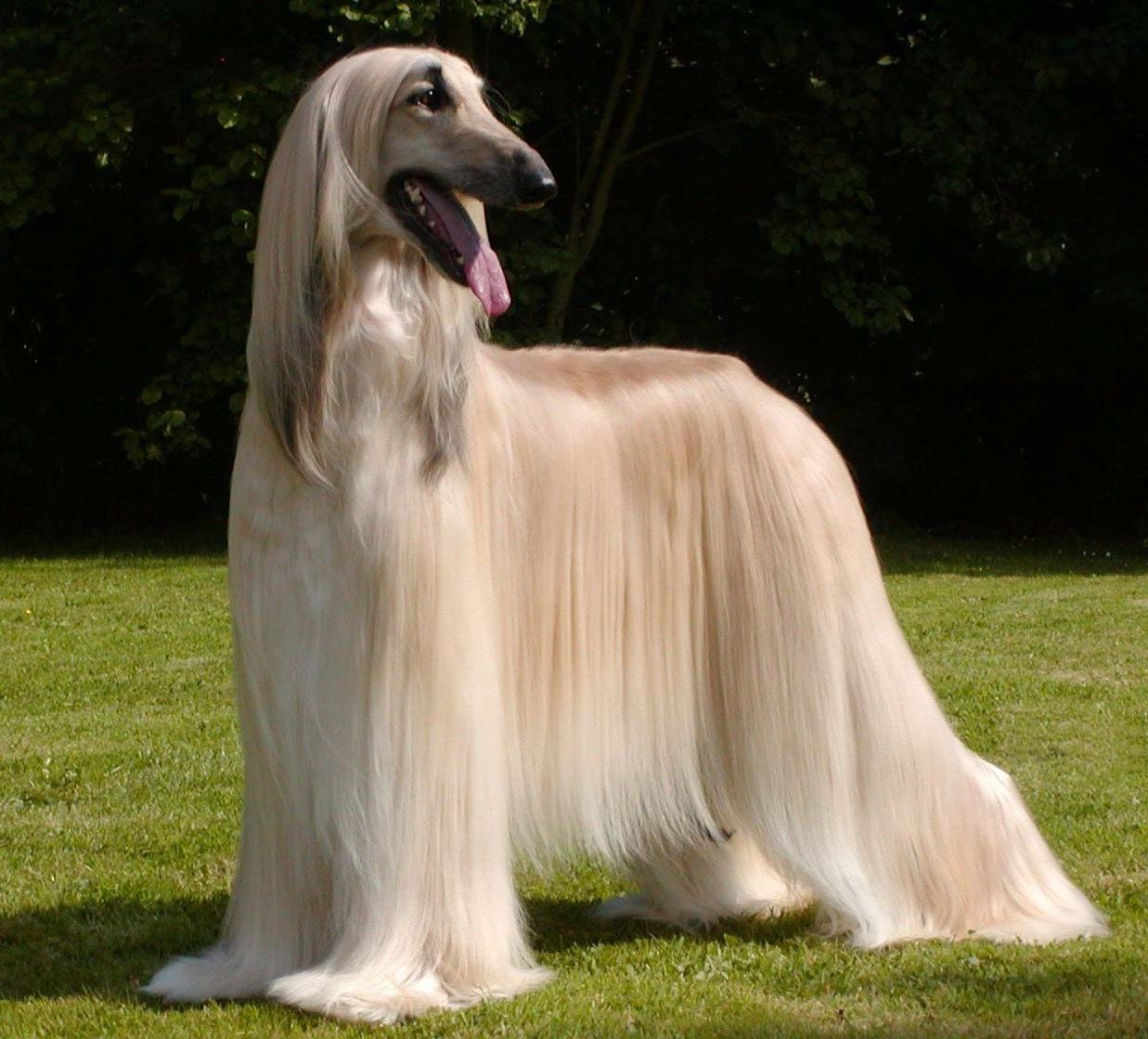 Afghan Hound Well Covered With Thick Silky Hair Very Fine In