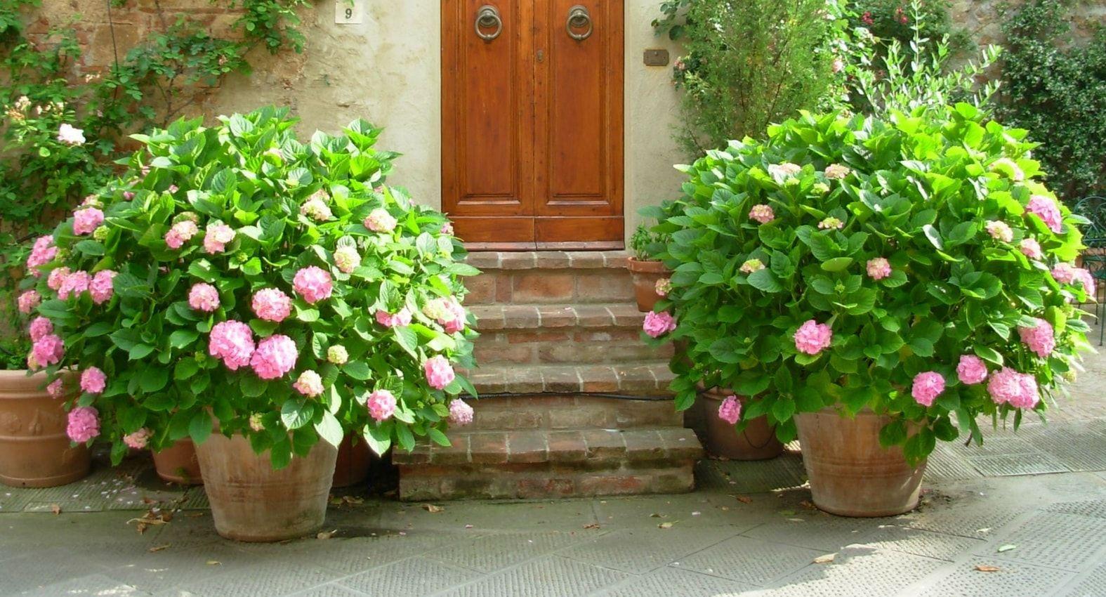 Plantation de l'hortensia (hydrangea) en pot ou bac