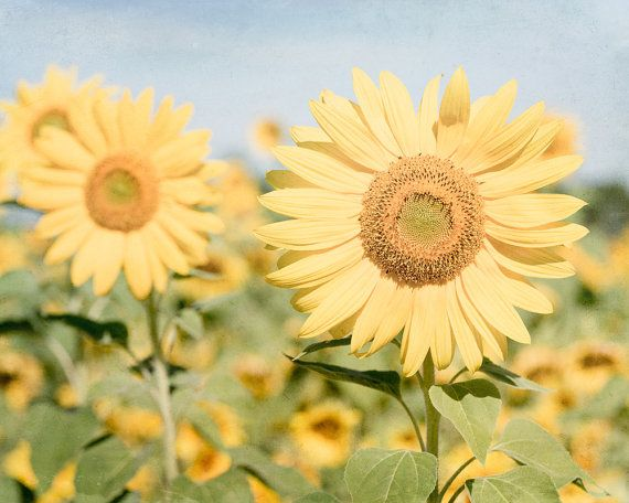 Sunflower Field Photo, Sunflowers Photography, Country Kitchen Art ...