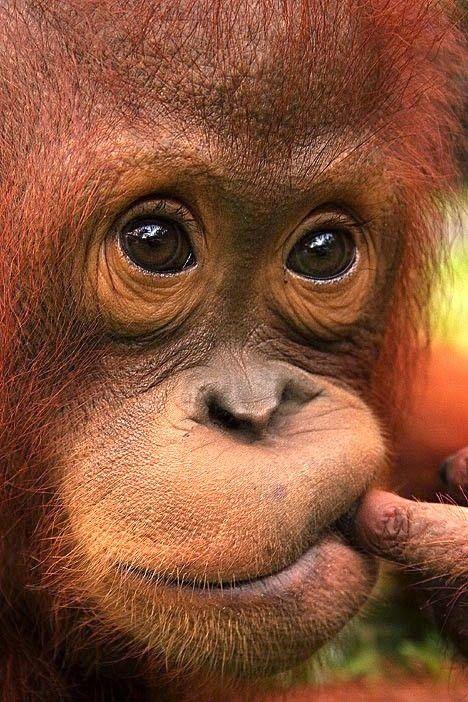 I just love orangutangs.  http://vanikroman.blogspot.cz/p/libertagia.html