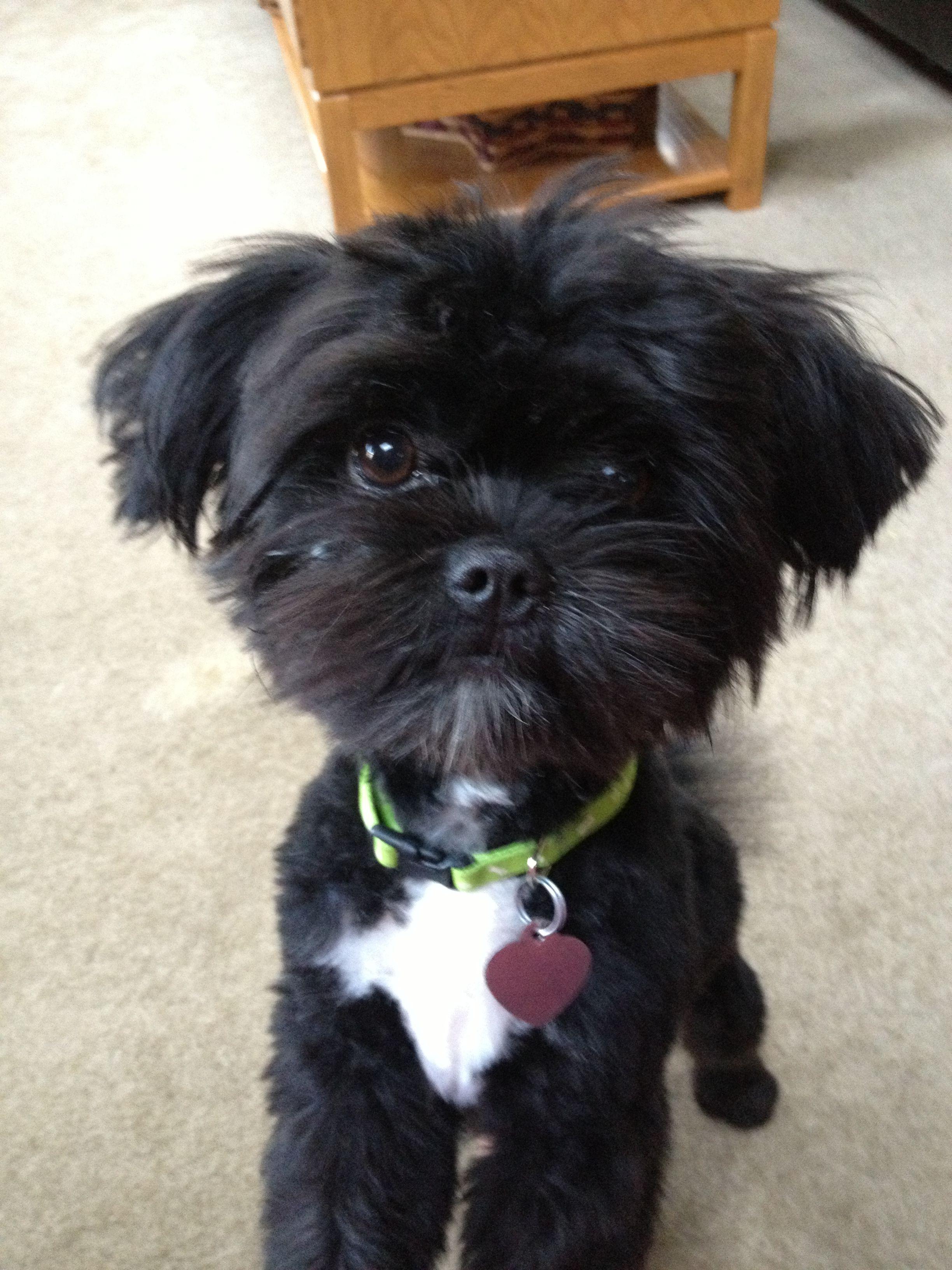 Cockapoo Puppies Information - Goldenacresdogs com