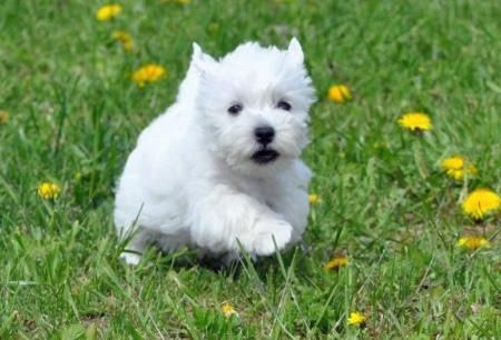 Hurry westhighlandterriers (With images) Westie puppies
