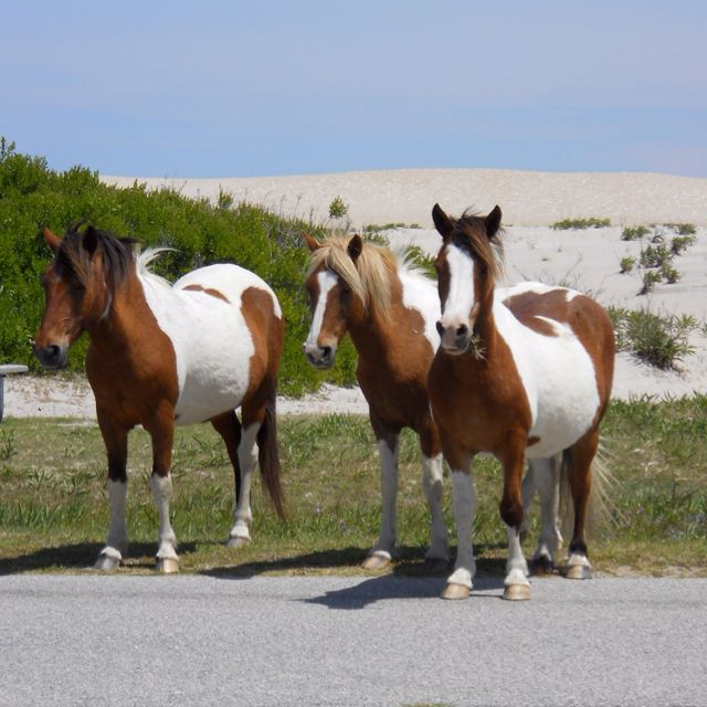 Horses of Assateague Island standing on road group of 3