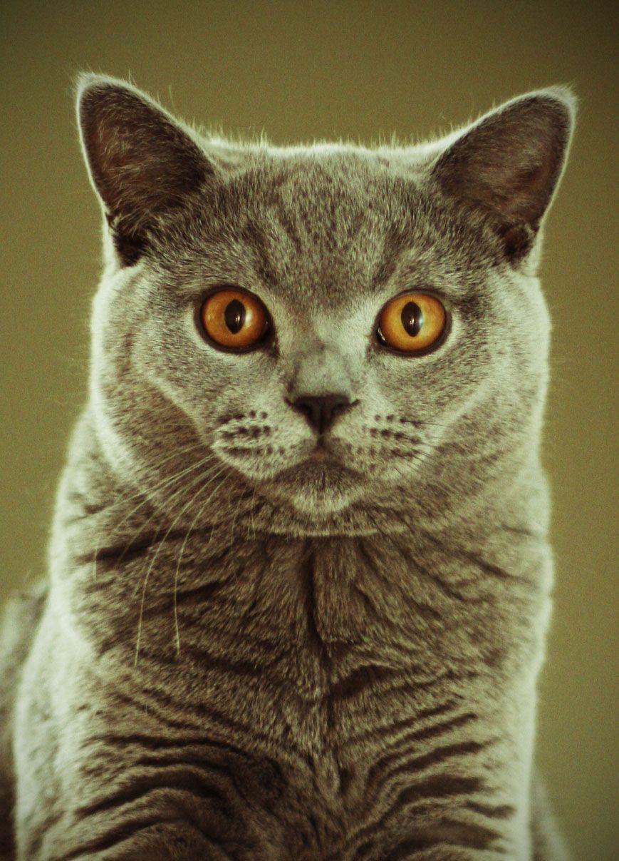 British Shorthair Cat Gatos Fofinhos