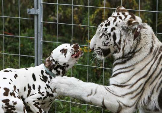 One year-old white tiger Bombay plays with 4 year-old Dalmatian Jack at the Circus William in Berlin... - REUTERS/Pawel Kopczynski