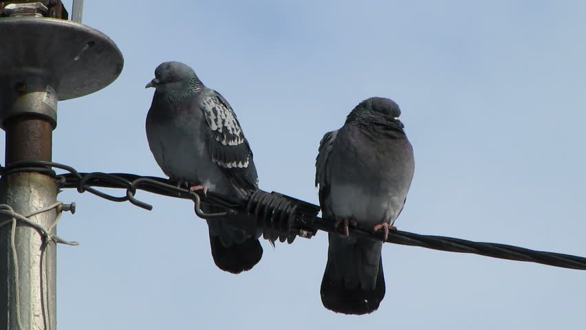 Dove Bird On A Wire - WIRE Center •