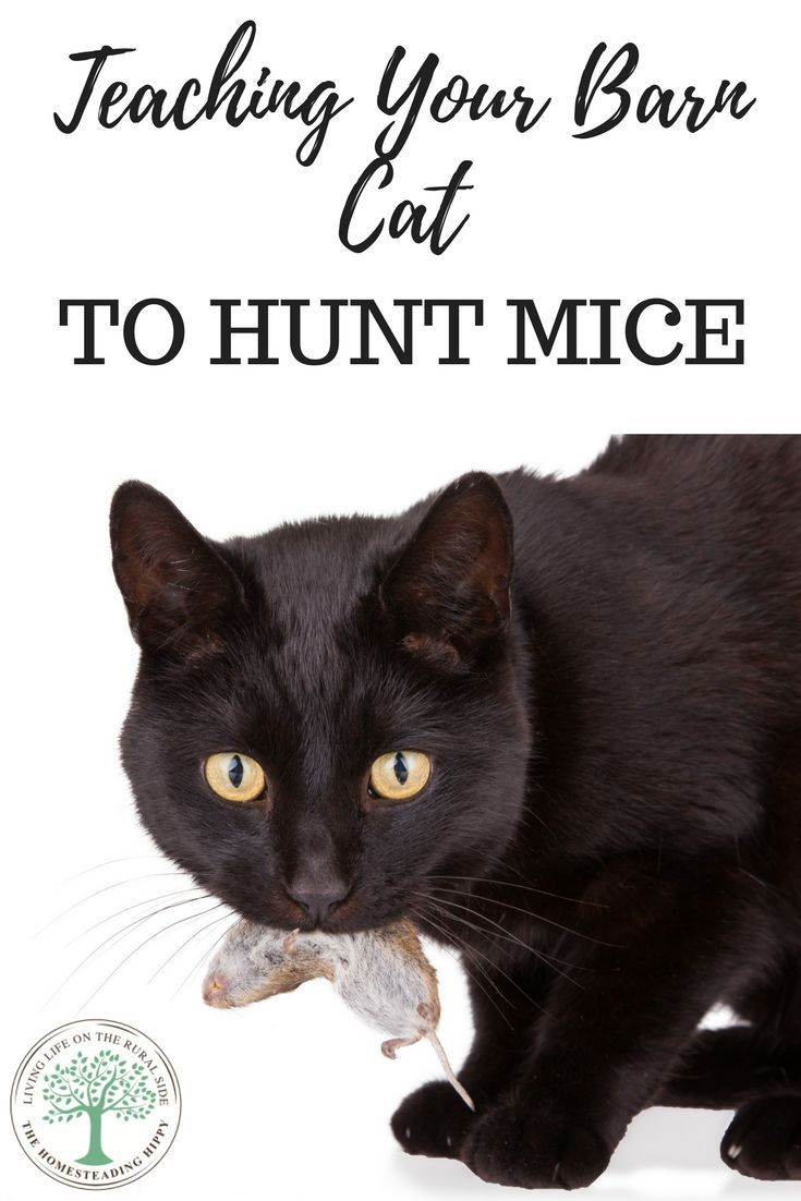 How to get your barn cat to hunt mice cats homesteading