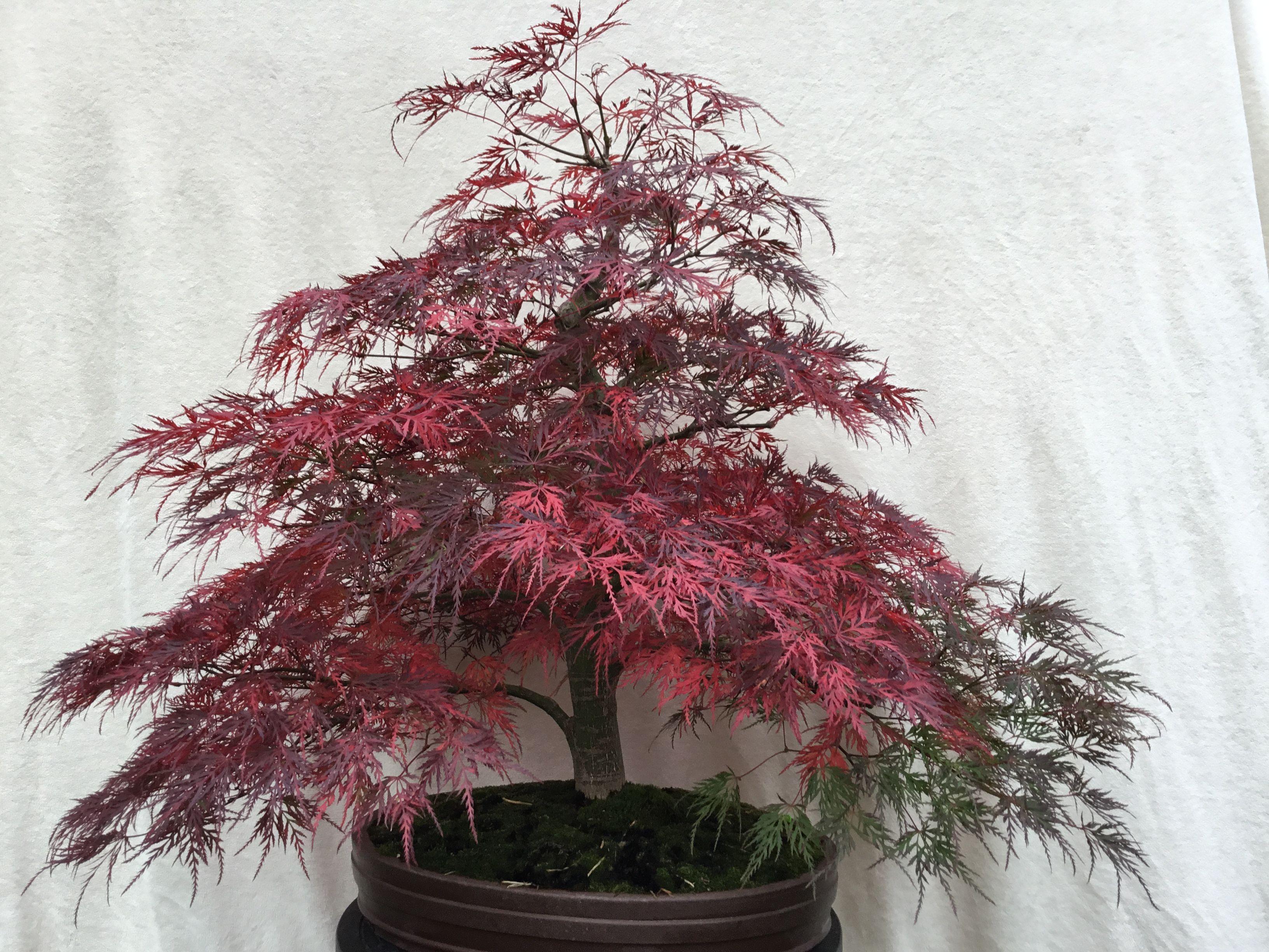 Acer Ahorn Bonsai Bonsai Baum Bonsai Und Baum