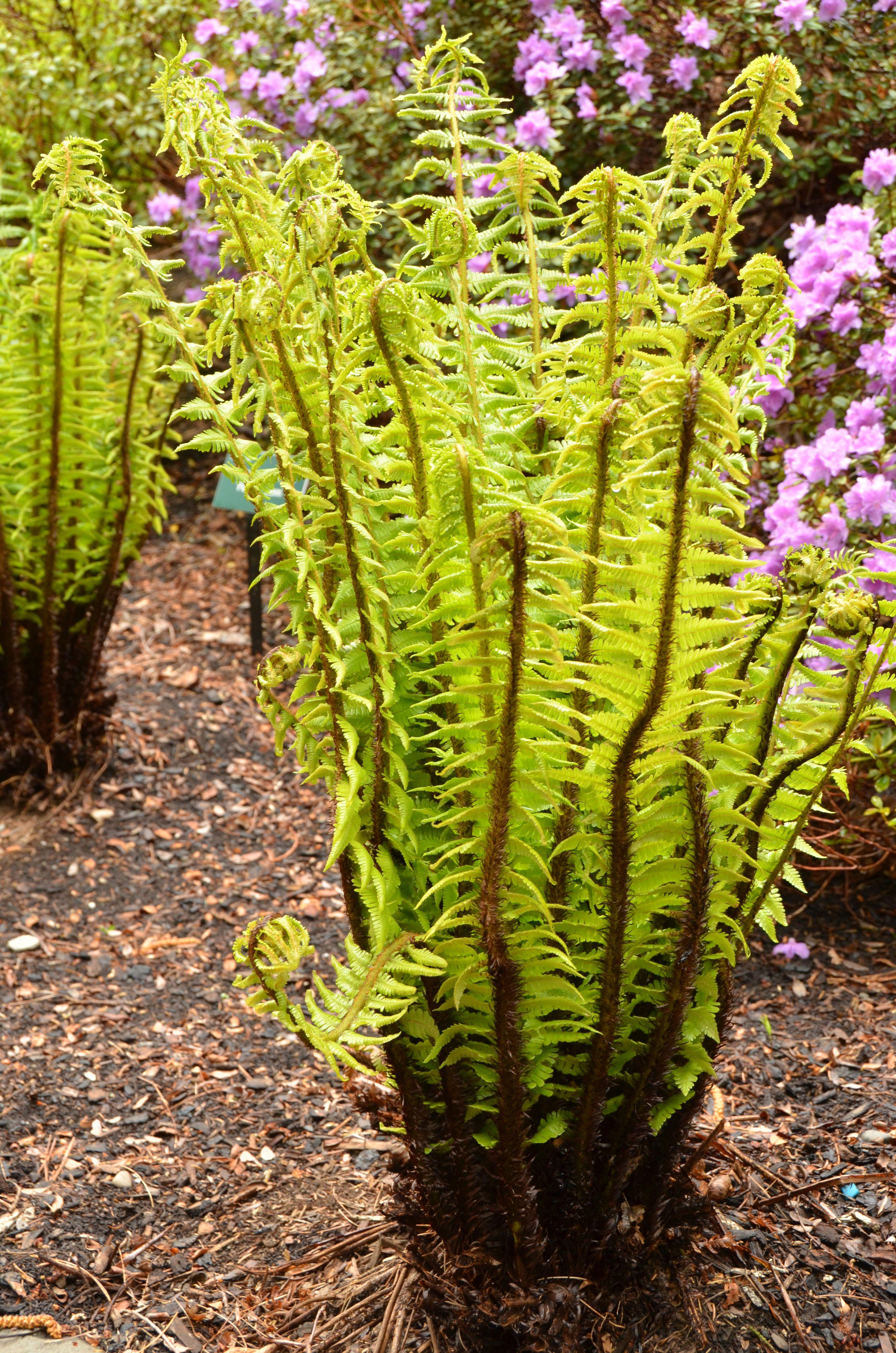 Ferns at coastal maine botanical gardens botanical