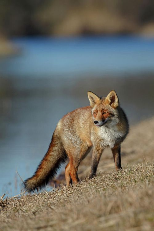Red Fox by Menno Schaefer
