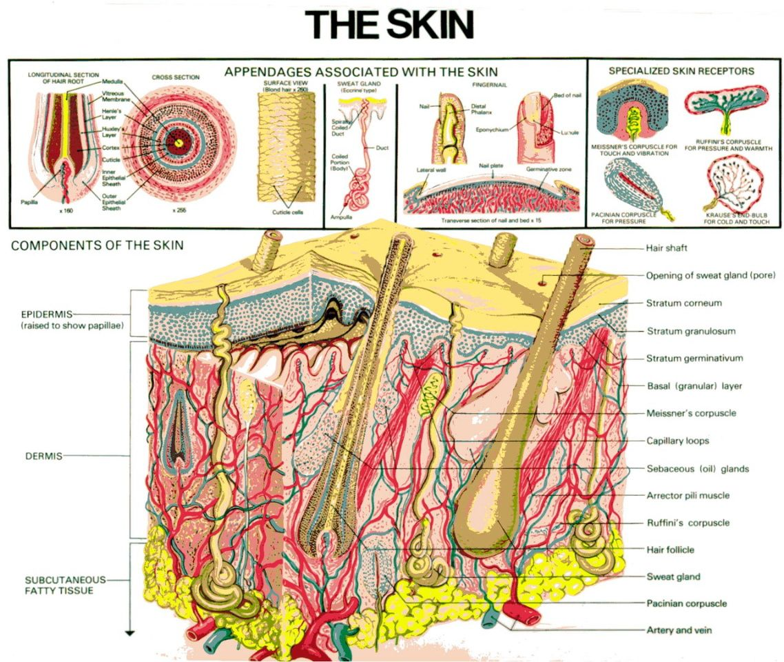 hight resolution of skin layers diagram google search