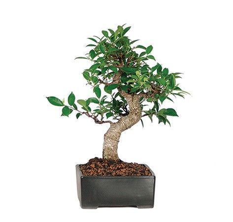 Golden Gate Ficus Bonsai Tree Imported From China Our Golden Gate Ficus Have Been Meticulously Trained For Wonderful Trunk Ficus Bonsai Tree Plants Mothers Day Plants