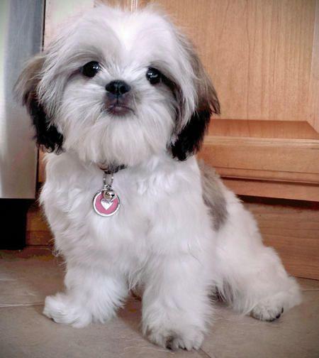 Ellie The Shih Tzu Shih Tzu Puppy Shih Tzu Dog Shih Tzu