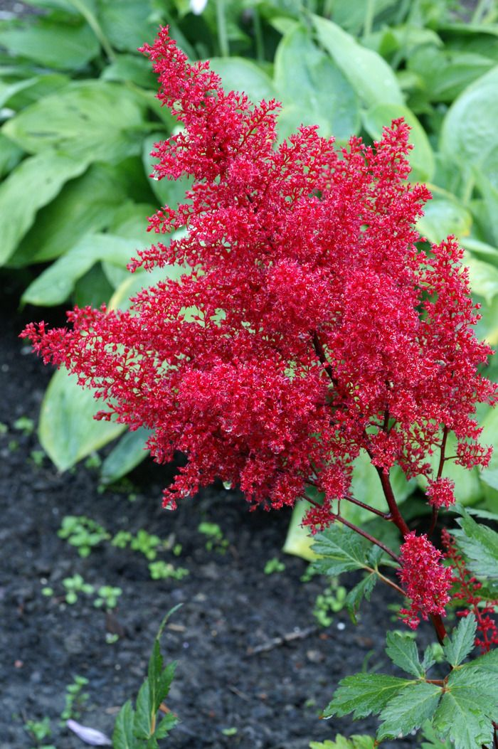 Feature Friday A Shady Surprise Astilbe Amazing Flowers Shade Garden